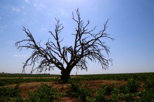 El viñedo está acusando el déficit hídrico…