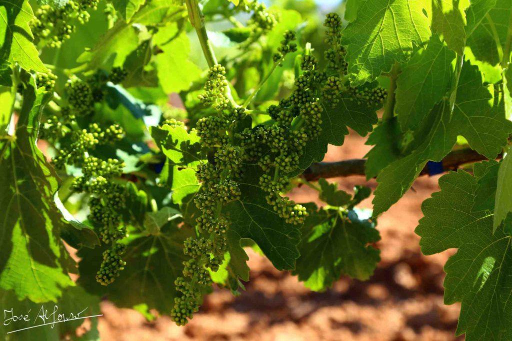 Los graves daños de las heladas en las viñas activan la demanda de vinos
