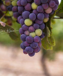Por la Virgen de Agosto…pintan las uvas