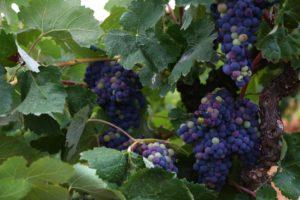 Domingo 6 de Agosto… y así va la cosa de las uvas