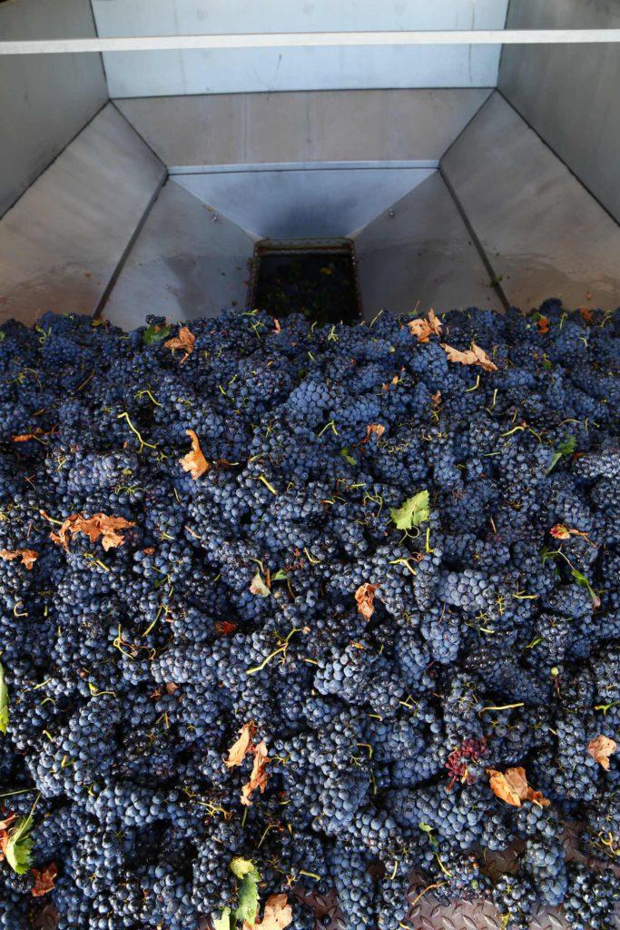 Comienza la vendimia de la uva Bobal
