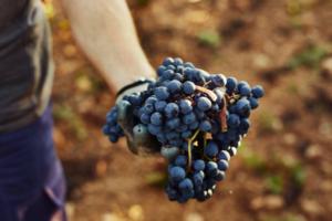 Más vigilancia sobre los precios de la uva