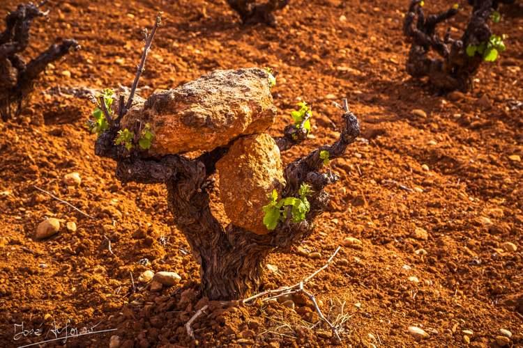 Las bajas temperaturas producen pérdidas en las cosechas de uvas y almendras