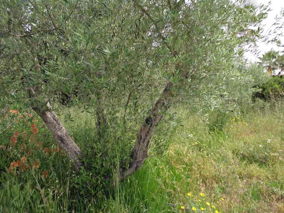 La revalorización del aceite no frena el abandono de olivos