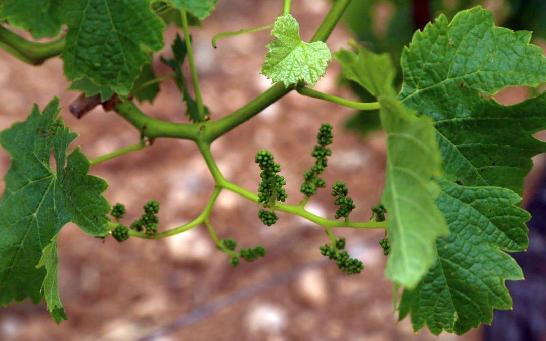 La superficie de viñedo ecológico crece en la Comunidad Valenciana más de un 13% en año y medio