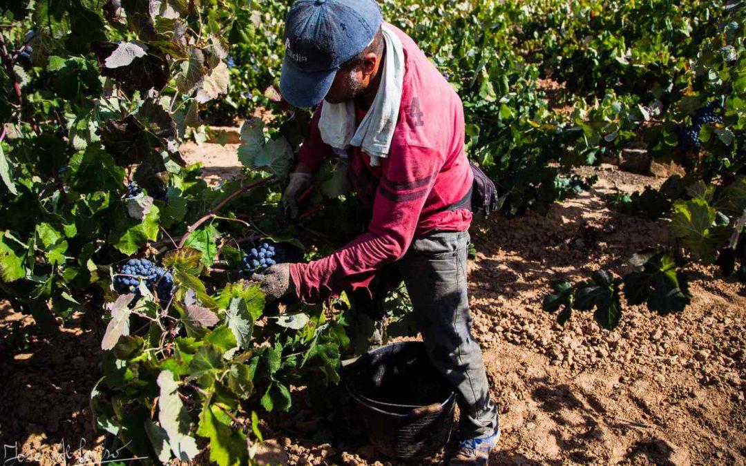 Vendimia 2018 en la Coop. Agrícola Utiel