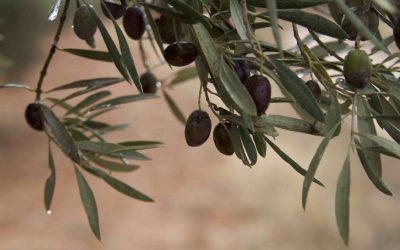 La lluvia de octubre favorecerá a todos los cultivos y aumentará la producción de aceite