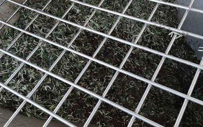 Requena-Utiel tendrá una producción normal de aceitunas
