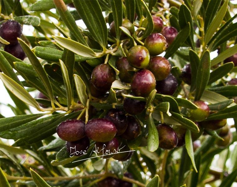 AVA-ASAJA formará  a podadores de olivos en el Valle de Ayora