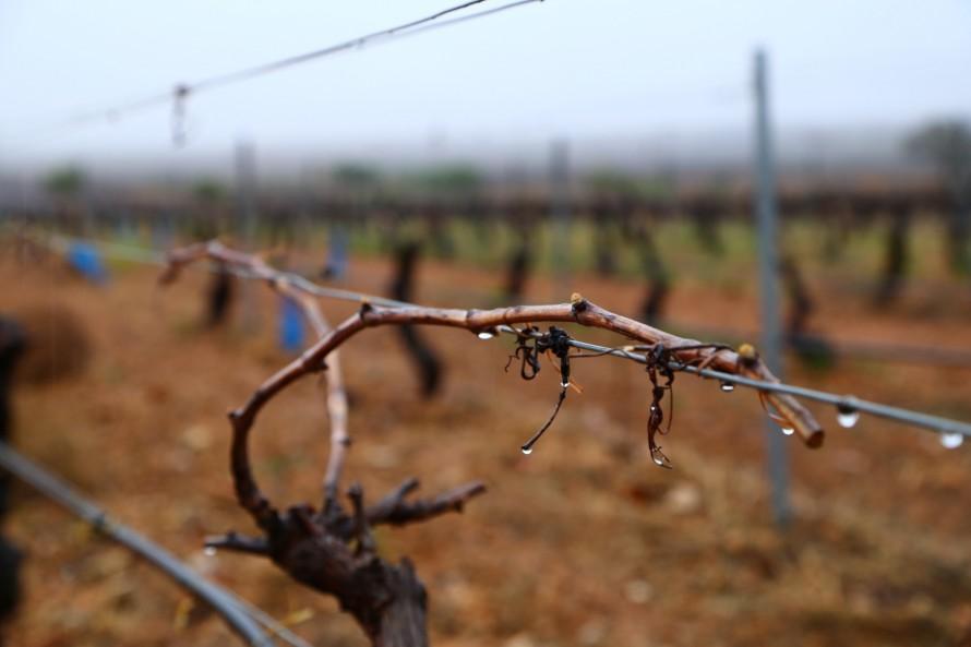 Un fuerte vendaval produce daños en los viñedos