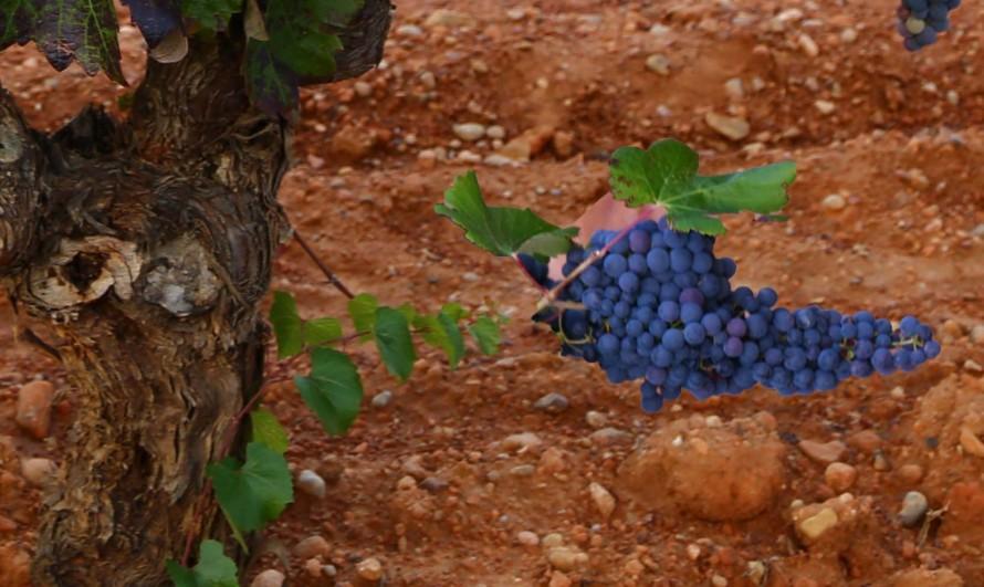 Numerosos viticultores han mostrado su malestar porque el incremento en los precios de las uvas no es coherente con el de los vinos