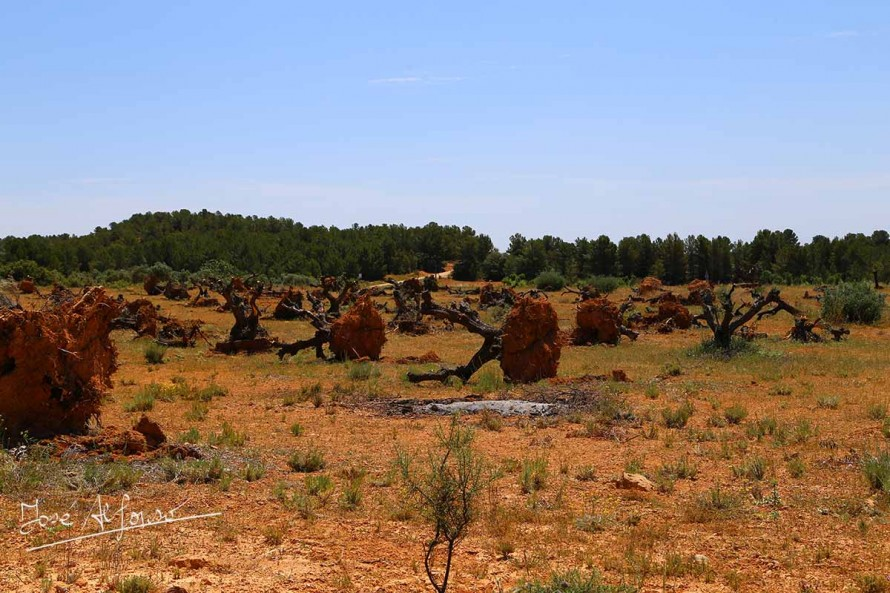 La caída del precio del aceite provoca el abandono de muchas parcelas de olivo