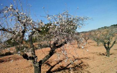 Muchos agricultores apuestan por los almendros por los mejores precios de la almendra
