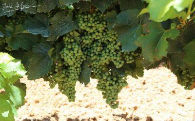 Los excedentes de producción han provocado el hundimiento de los precios de uvas para cavas