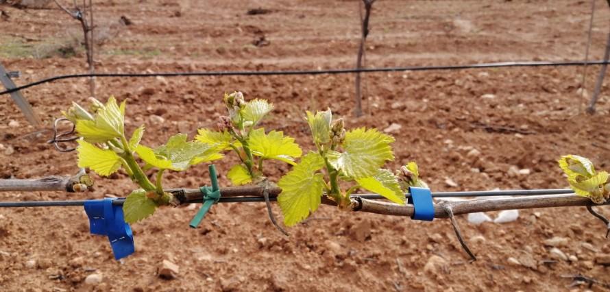 La brotación prematura de las vides preocupa a los viticultores