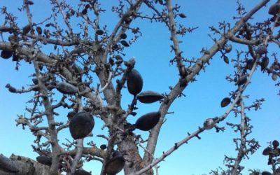 Agricultura considera urgente destruir las almendras afectadas el pasado año por la avispilla