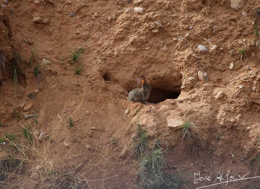 La fauna silvestre provoca daños importantes en el cultivo del almendro