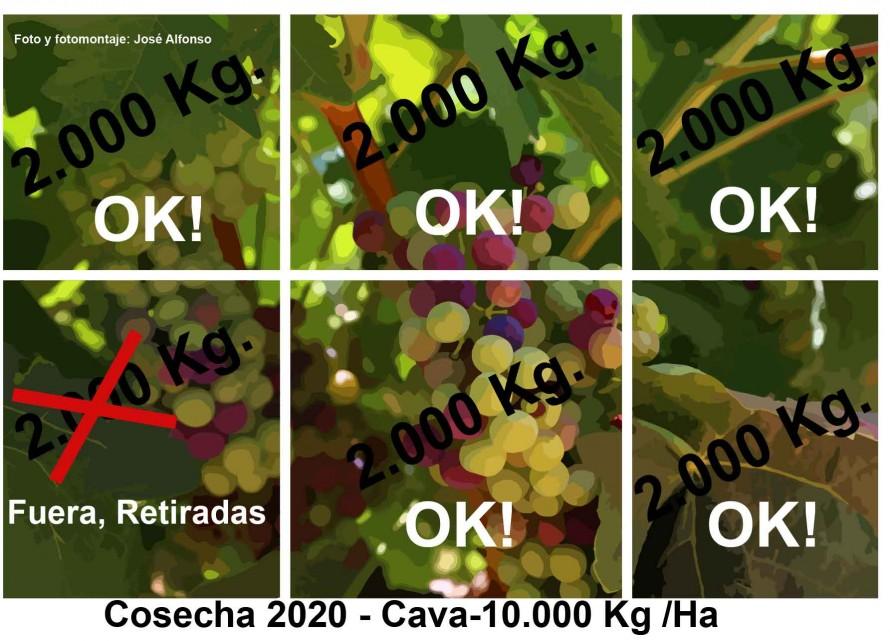 La DO Cava ha reducido la producción de uva autorizada por los excedentes de vino base cava que se han acumulado.