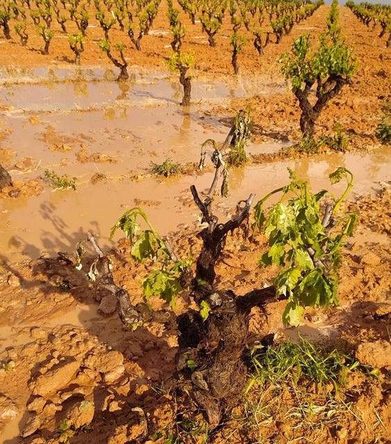 Agroseguro inicia el pago de las indemnizaciones de uva de vino con más de 2 millones de euros