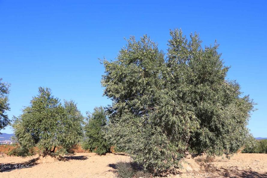 El precio del aceite de oliva sube algo más de un 10% en pocas semanas