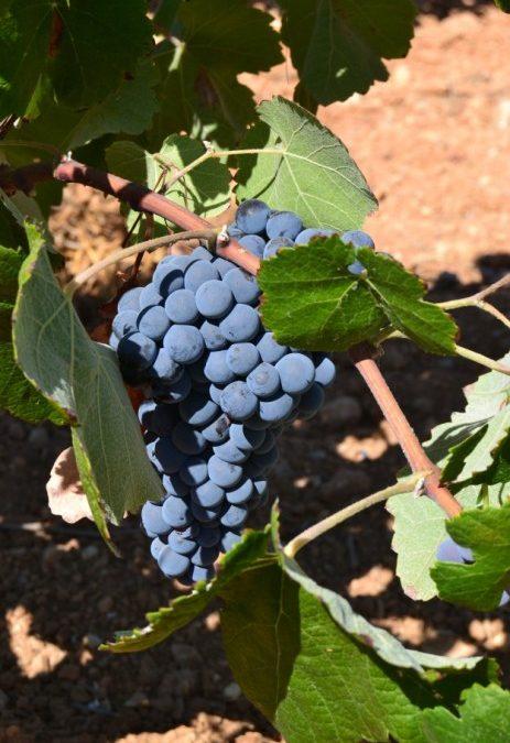 La variedad de uva Bobal produce excelentes tintos y rosados