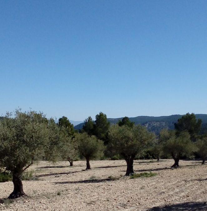 Los precios del aceite de oliva continúan hundidos