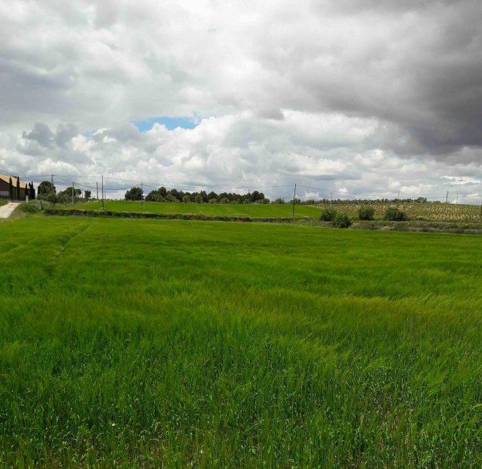 Los cereales reciben la lluvia que tanto necesitaban