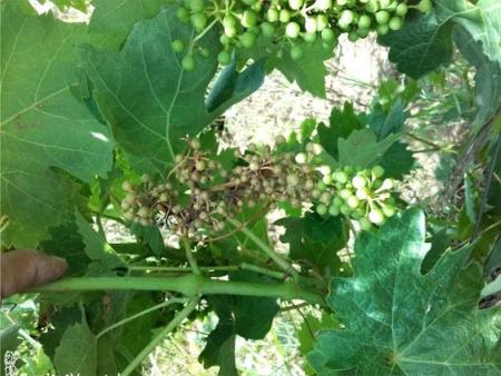 Sanidad Vegetal informa que se están observando síntomas de mildiu en viñedos valencianos