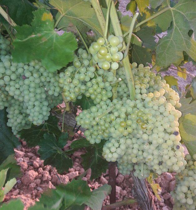 Requena tendrá una producción de uvas para cavas de gran calidad; pero un 30% inferior que la de 2020